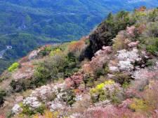 寒霞渓山桜