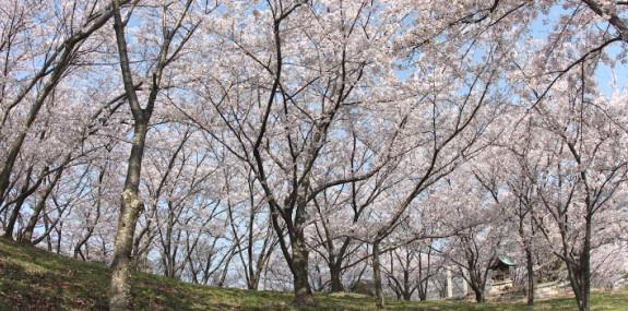 桜 -城山公園-