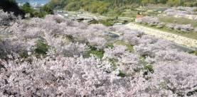 桜 -粟地ダム公園-