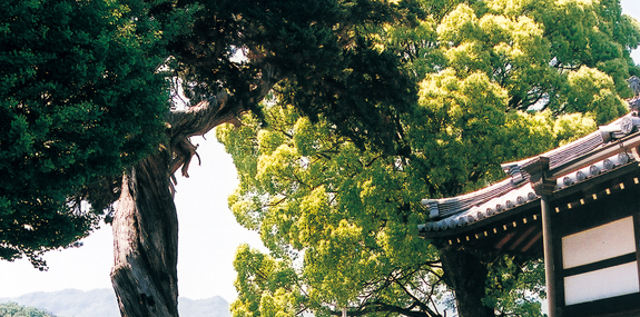 真光寺のシンパク(イブキ)とクスノキ