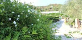 ミモザとジャスミンの散歩道 -小豆島オリーブ園-