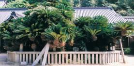 誓願寺のソテツ