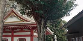 隼山(はやぶさやま)のイスノキ