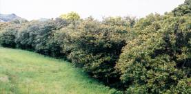 当浜(あてはま)のヤブツバキ群生林