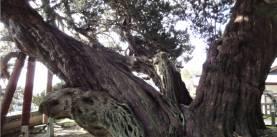 宝生院の真柏