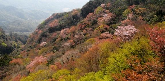 山桜 -四方指展望台-