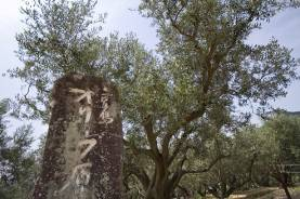 オリーブの原木 ―小豆島オリーブ園―